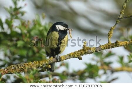 Teta lagarta pequeno jardim pássaro Foto stock © suerob