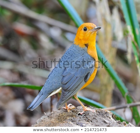 Orange muguet chinois oiseau nature animaux Photo stock © chris2766