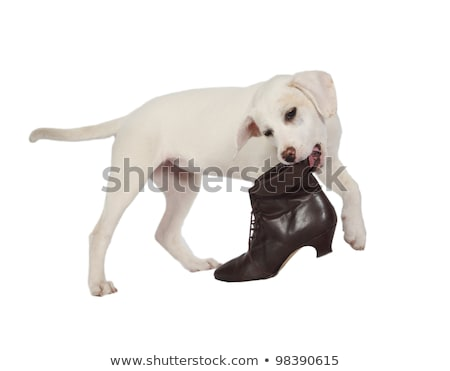 Lab puppy playing with boot Stock photo © Rambleon