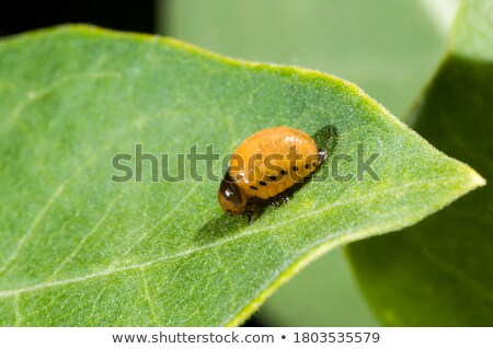 Swamp Milkweed Leaf Beetle Larva Stock photo © brm1949