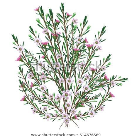 Fiori cera giardino bianco rosa Bush Foto d'archivio © cheyennezj