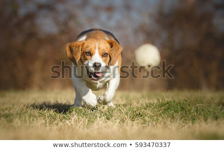 Beagle Chasing A Ball Stock photo © brm1949