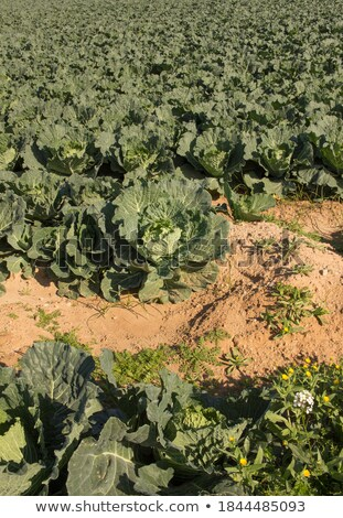 Agriculture in Spain, cabbage cultivation Stock photo © lunamarina