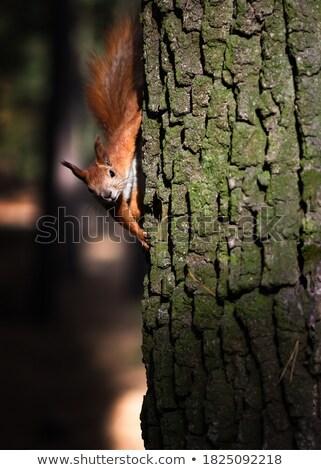 dąb · lasu · drzewo · słońce · charakter · liści - zdjęcia stock © pashabo