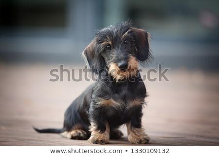 wire haired dachshund at the beach stock photo © ivonnewierink