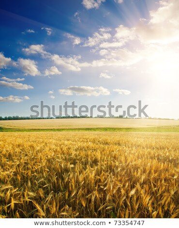 зрелый пшеницы драматический облачный небе дождь Сток-фото © mycola