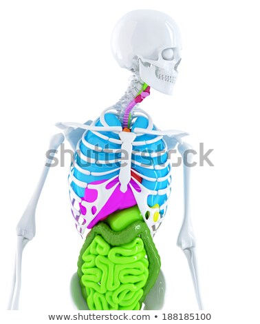 3d skeleton with coloured human organs. Isolated. Contains clipping path Stock photo © Kirill_M