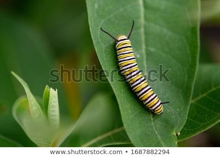 Caterpillar papillon nature feuille animaux jaune Photo stock © rabel