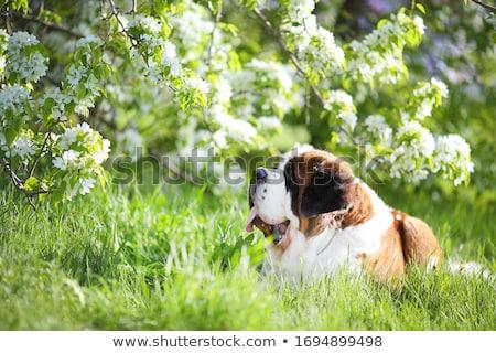 Mooie hond groen gras ogen groene witte Stockfoto © Nejron