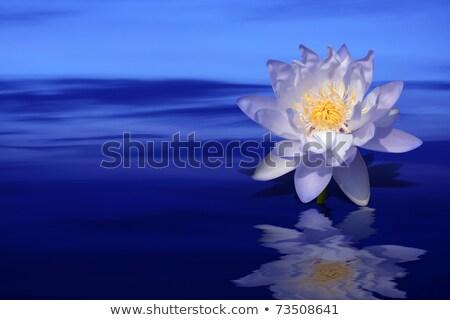 Floating Violet Lotus Flowers On Green Leaf Stok fotoğraf © Sarunyu_foto