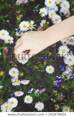 Little girls hand holding a daisy Stock photo © gemenacom