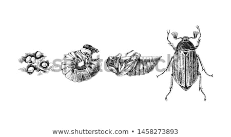 May Beetle Larvae - Melolontha Melolontha Stock photo © mart