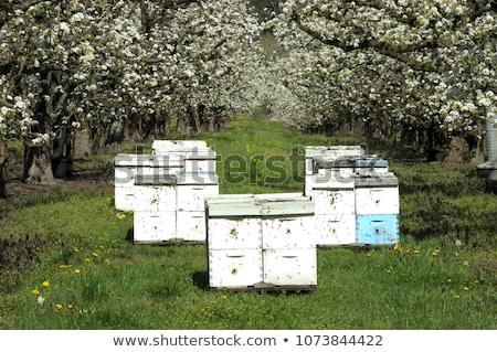 Pszczoła sad wiele zewnątrz charakter drzew Zdjęcia stock © ivonnewierink