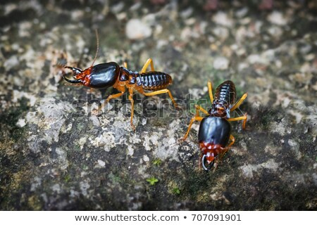 extreme closeup of a soldier termite on a rock stock photo © pzaxe