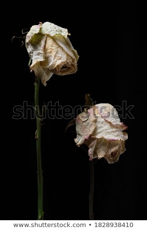 A two wilting rose on dark background stock photo © flariv