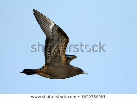 Sarkköri repülés repülés felhős égbolt madár Stock fotó © Arrxxx