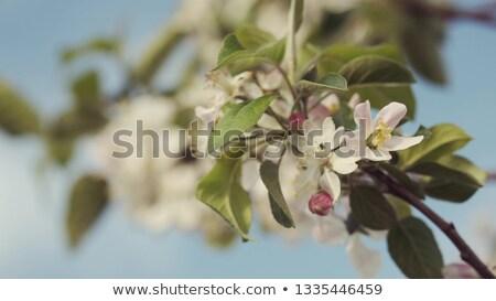 Hangya kertész ültet fa palánta gyümölcsfa Stock fotó © orensila