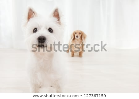 Stock photo: Two West Highland White Terrier are on the white studio floor