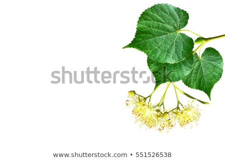 linden flowers on a white background Stock photo © mady70