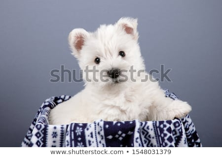 west highland white terrier portrait in a gray background stock photo © vauvau