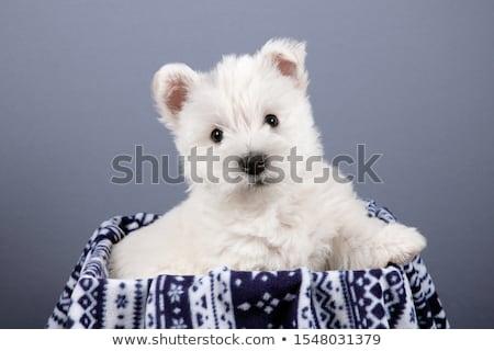 Foto stock: Ocidente · branco · terrier · retrato · cinza · feliz