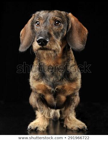 Wired hair dachshund standing in a black photo studio Stock photo © vauvau