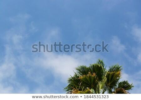 Pálmalevelek helyes kék ég égbolt nap levél Stock fotó © Karpenkovdenis