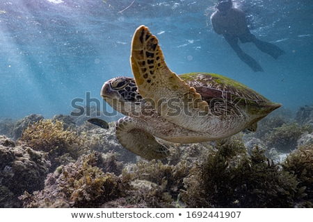 Сток-фото: Tourist Diving At Coral Reef And Watching Green Sea Turtle