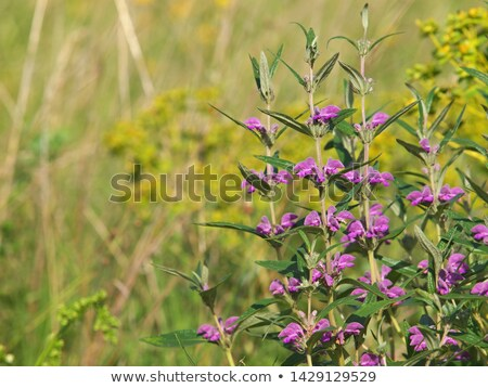 Purple диких цветов цветок лист зеленый розовый Сток-фото © LianeM