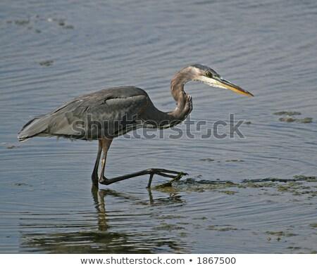 Azul garza agua marina caza Foto stock © davidgn