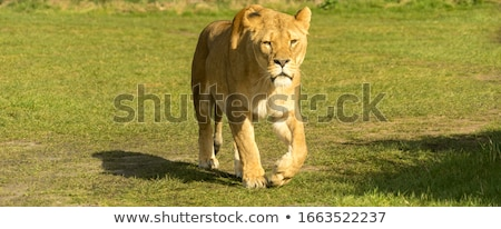 grande · masculino · leão · caminhada · câmera · parque - foto stock © simoneeman
