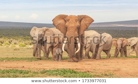 Elephant bull at a waterhole. stock photo © simoneeman