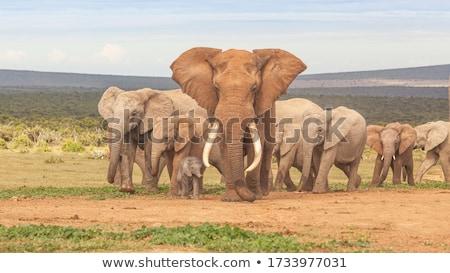 Elephant bull at a waterhole. Stock photo © simoneeman