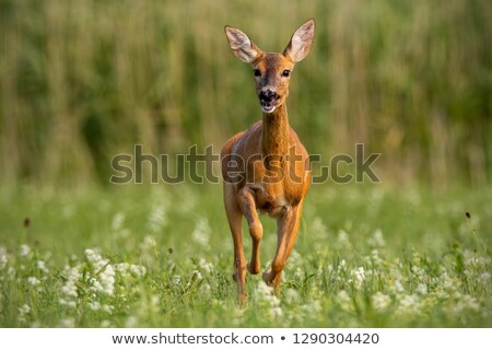 roe deer doe running towards the camera Stock photo © taviphoto