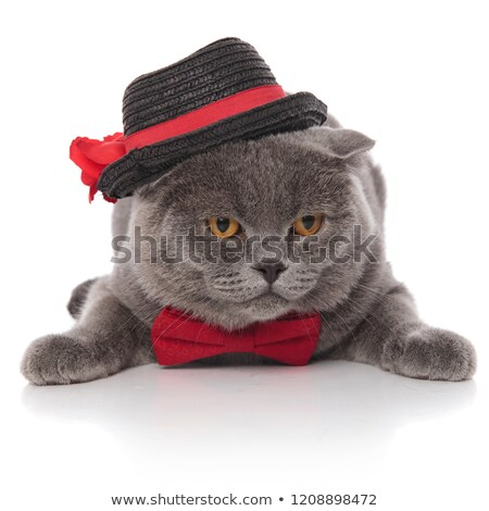 classy grey cat wearing black hat and red bowtie lying Stock photo © feedough