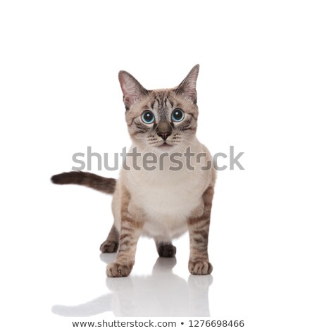 surprised grey metis cat with blue eyes stands Stock photo © feedough