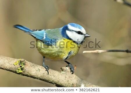 Eurasian blue tit  sitting on a branch  Stock photo © lightpoet