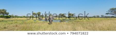 Słoń afrykański Botswana safari przyrody parku Zdjęcia stock © artush