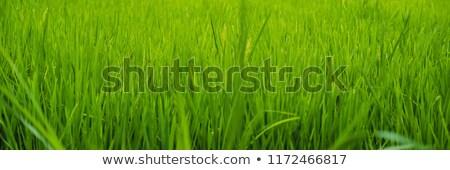 Belo arroz vulcânico bali bandeira longo Foto stock © galitskaya