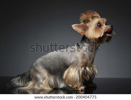 Yorkshire terrier portrait in a graduated gray background with o Stock photo © vauvau
