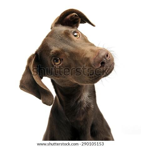 beautiful flying ears mixed breed dog portrait in white studio Stock photo © vauvau