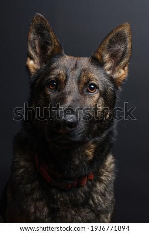 Studio shot of an adorable Belgian shepherd and a mixed breed dog Stock photo © vauvau