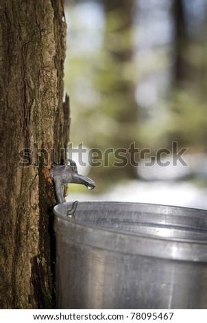 Damlacık akçaağaç ağaç Stok fotoğraf © flariv