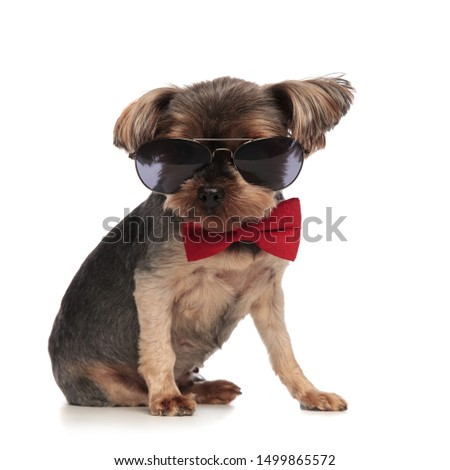 Zijaanzicht cool yorkshire terriër zonnebril Stockfoto © feedough