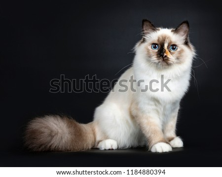 Naughty tortie Sacred Birman cat kitten isolated on white background  Stock photo © CatchyImages