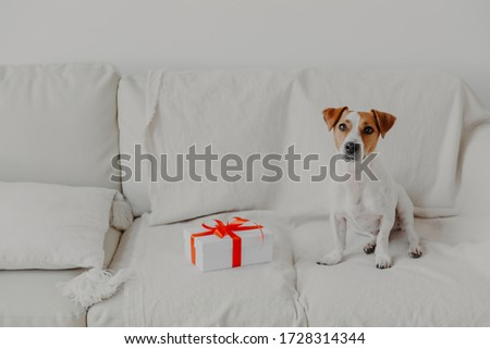 Джек-Рассел терьер собака белый мягкой диван шкатулке Сток-фото © vkstudio