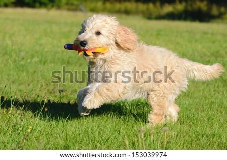Szczęśliwy złoty psa pudel gry psów Zdjęcia stock © cboswell