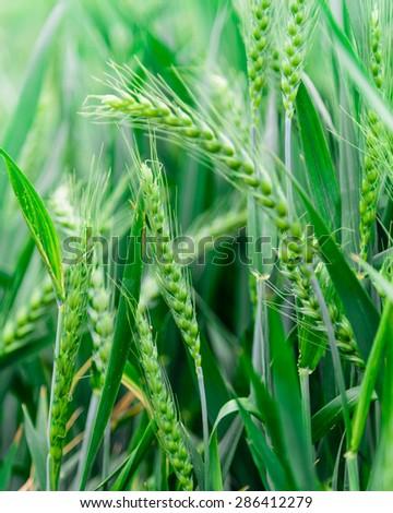 красный желтый зеленый пшеницы полях Сток-фото © billperry