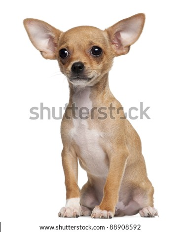 Chihuahua , 5 months old. chihuahua dog isolated on white backgr Stock photo © EwaStudio