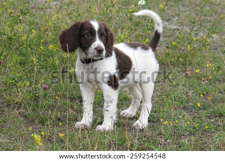 Very cute young liver and white working type english springer sp stock photo © chrisga